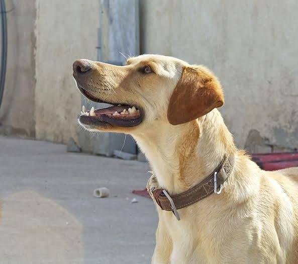 buster - Bildertagebuch - BUSTER, ein Traumhund wurde streunend aufgefunden - VERMITTELT - 36184171hc