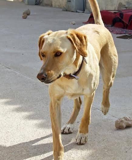 buster - Bildertagebuch - BUSTER, ein Traumhund wurde streunend aufgefunden - VERMITTELT - 36184172sc
