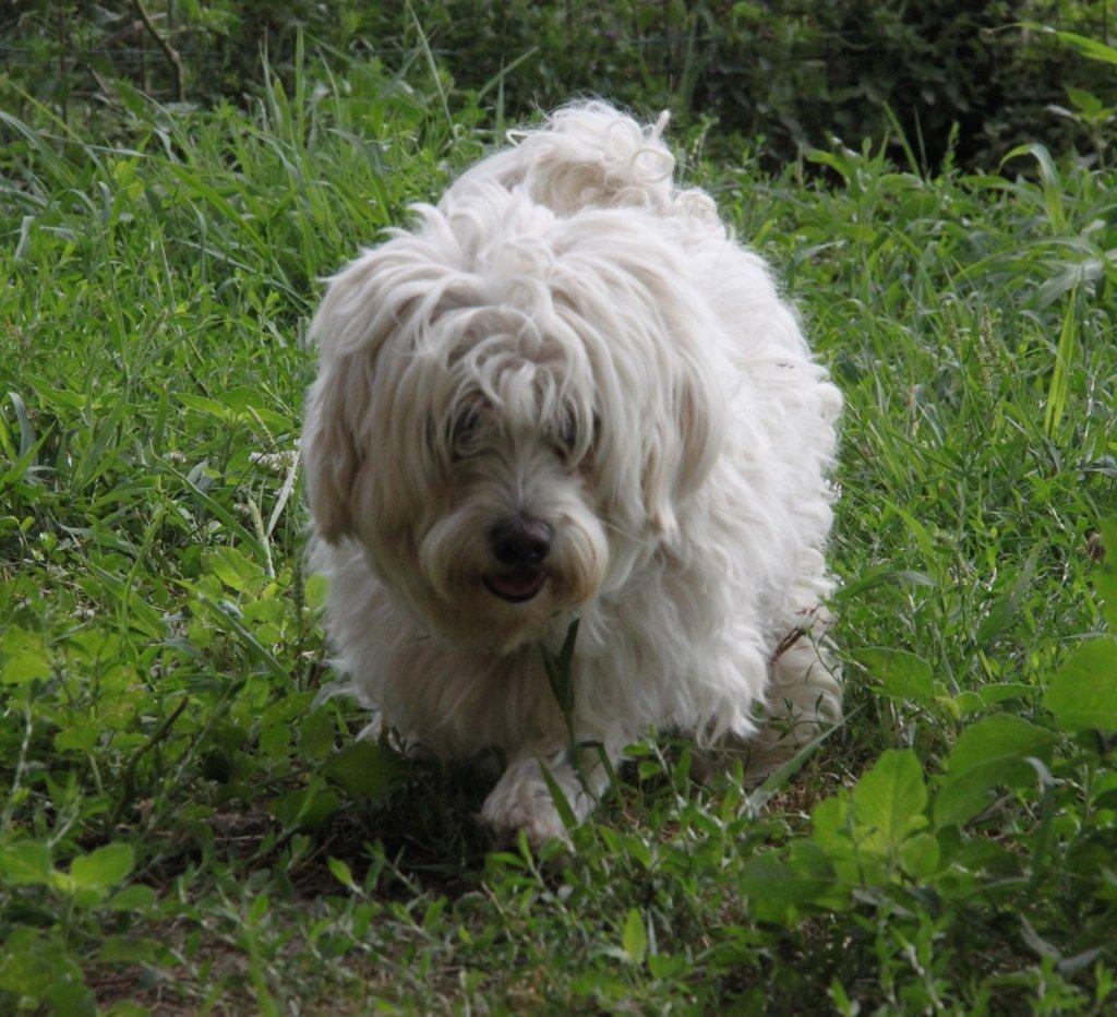 Bildertagebuch - FIOCCO, der kleine Malteserrüde hat nach fast 9 Jahren sein Zuhause verloren...VERMITTELT! 36231003xm