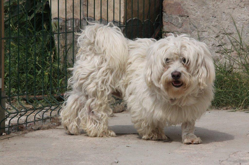 Bildertagebuch - FIOCCO, der kleine Malteserrüde hat nach fast 9 Jahren sein Zuhause verloren...VERMITTELT! 36231008uh