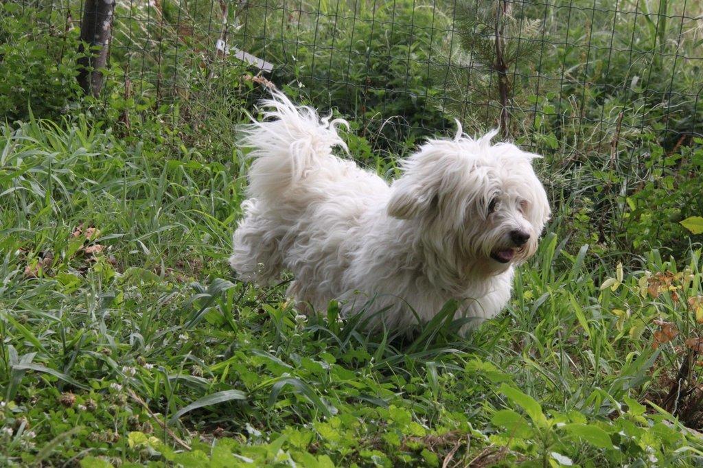 Bildertagebuch - FIOCCO, der kleine Malteserrüde hat nach fast 9 Jahren sein Zuhause verloren...VERMITTELT! 36231011xp