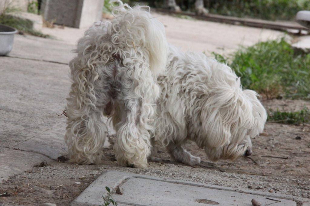 Bildertagebuch - FIOCCO, der kleine Malteserrüde hat nach fast 9 Jahren sein Zuhause verloren...VERMITTELT! 36231017zh