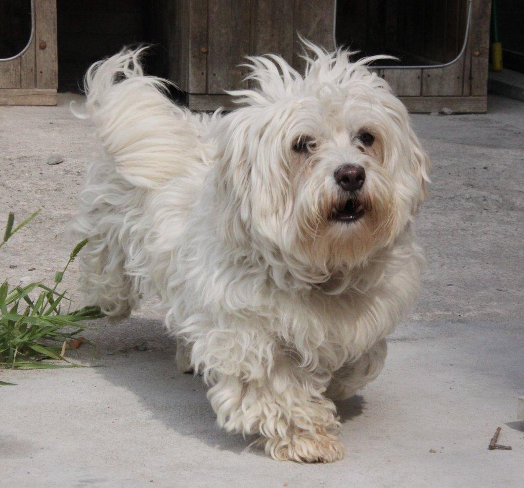 Bildertagebuch - FIOCCO, der kleine Malteserrüde hat nach fast 9 Jahren sein Zuhause verloren...VERMITTELT! 36231020pt