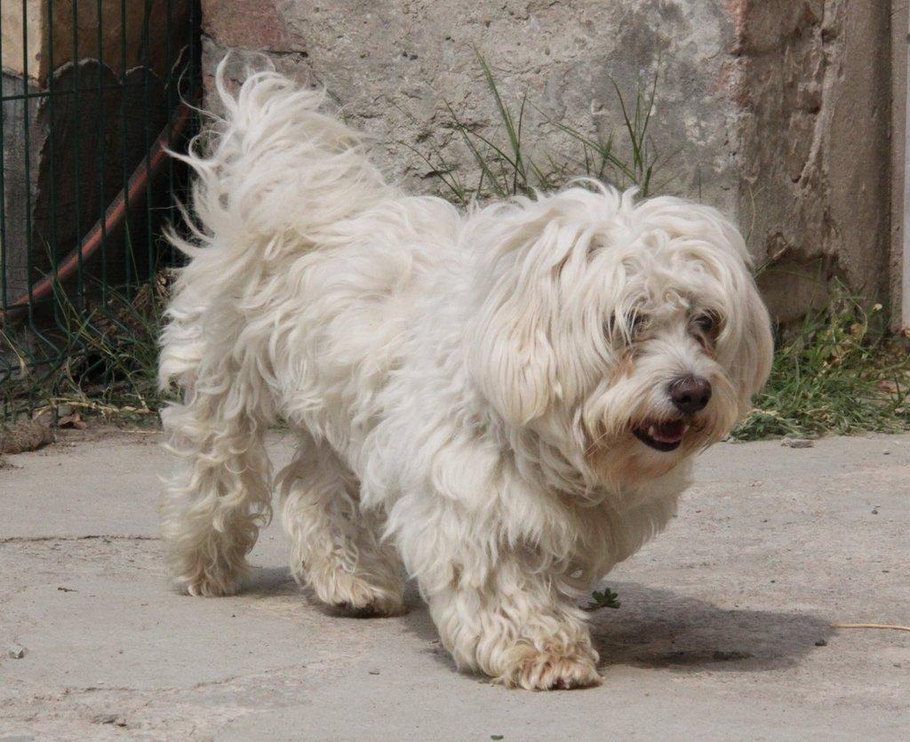 Bildertagebuch - FIOCCO, der kleine Malteserrüde hat nach fast 9 Jahren sein Zuhause verloren...VERMITTELT! 36231021pa