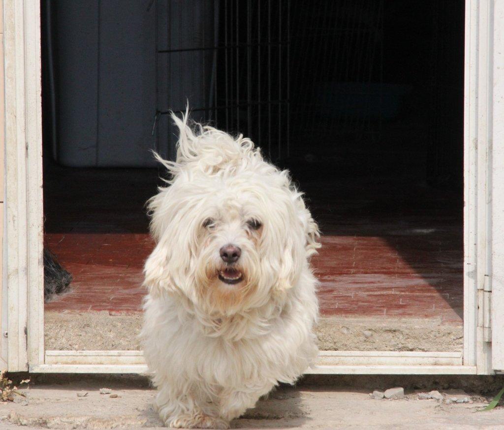 Bildertagebuch - FIOCCO, der kleine Malteserrüde hat nach fast 9 Jahren sein Zuhause verloren...VERMITTELT! 36231022lq