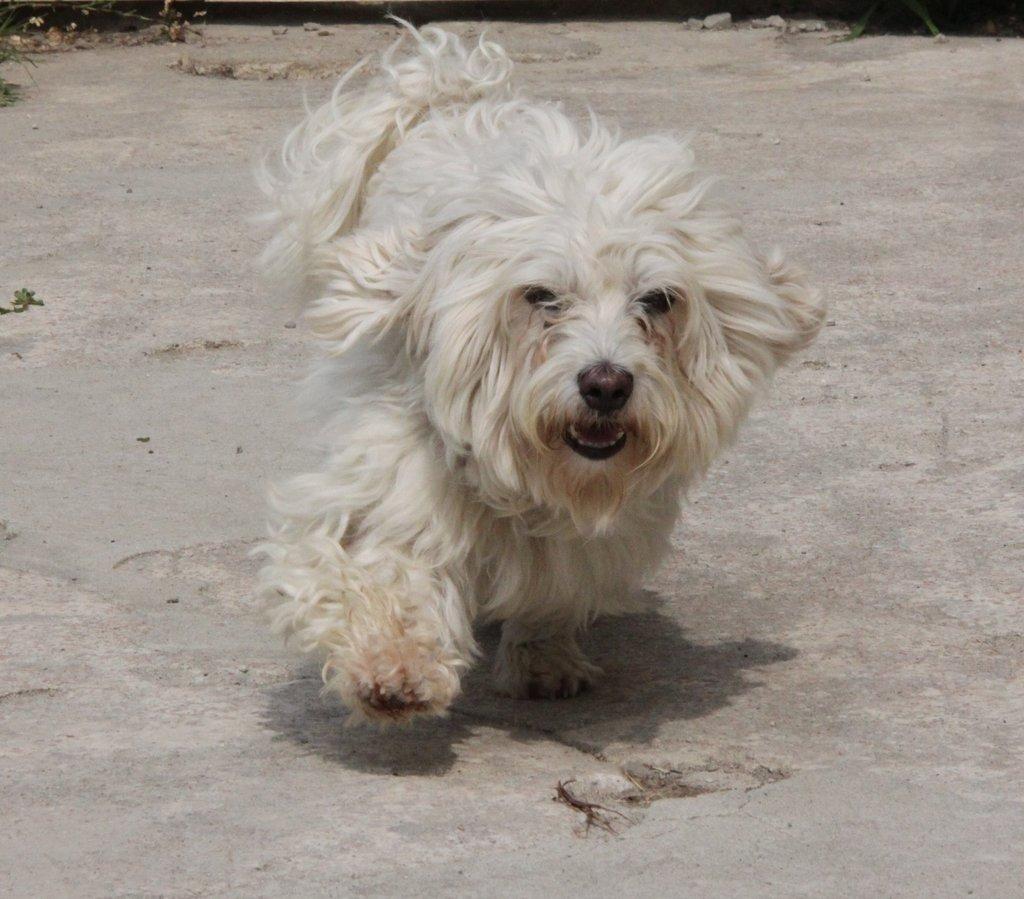 Bildertagebuch - FIOCCO, der kleine Malteserrüde hat nach fast 9 Jahren sein Zuhause verloren...VERMITTELT! 36231023er