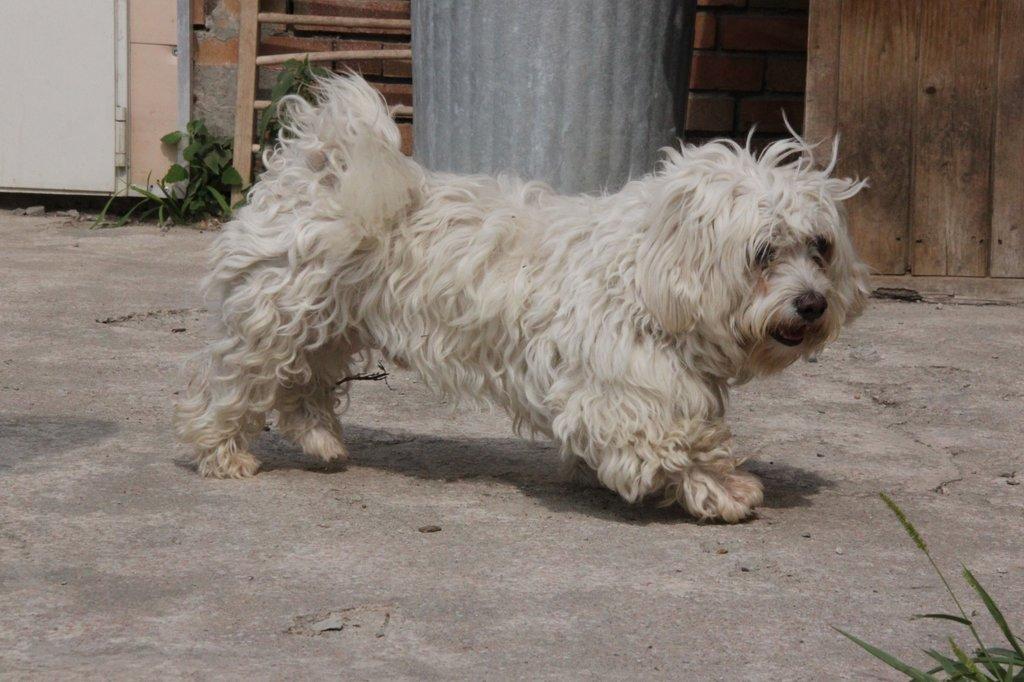 Bildertagebuch - FIOCCO, der kleine Malteserrüde hat nach fast 9 Jahren sein Zuhause verloren...VERMITTELT! 36231024zt