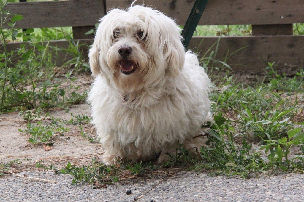 Bildertagebuch - FIOCCO, der kleine Malteserrüde hat nach fast 9 Jahren sein Zuhause verloren...VERMITTELT! 36231028vq