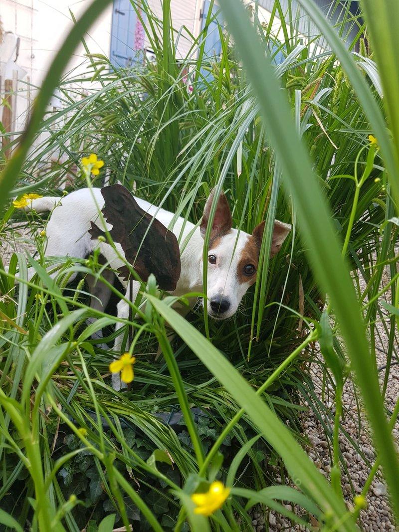 Bildertagebuch - Joy (Liesl), eine ganz bezauberne kleine Ratonera sucht dringend ihr Zuhause! - VERMITTELT- 36267492ll