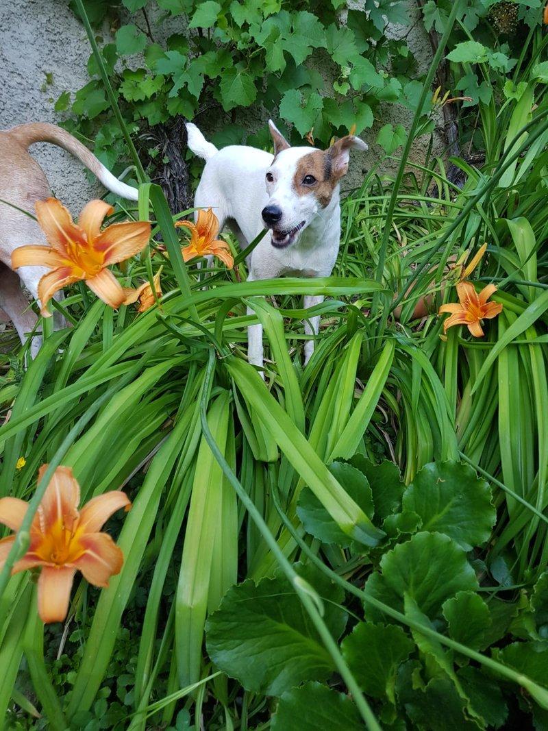 Bildertagebuch - Joy (Liesl), eine ganz bezauberne kleine Ratonera sucht dringend ihr Zuhause! - VERMITTELT- 36267494xp