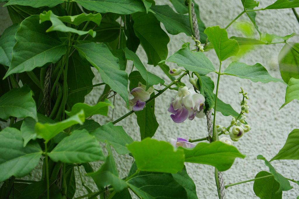Kübelpflanzen - Seite 19 36399111we