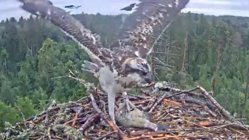 Estonian Osprey Nest (Ivo & Iiris) 2019 - Page 235 - Looduskalender