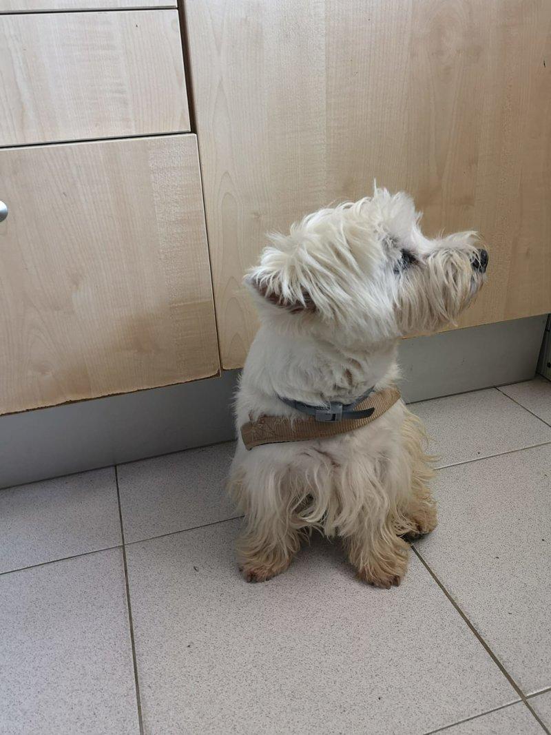 Bildertagebuch - Paco: Selbstbewußter, kleiner Terriersenior sucht sein Zuhause! VERMITTELT! 36541840to