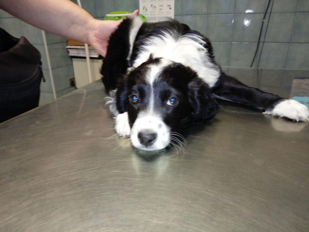 Bildertagebuch - Troya, junges obersüßes Hundemäuschen war mutterseelenallein unterwegs und auch noch angefahren - VERMITTELT - 36599798qu