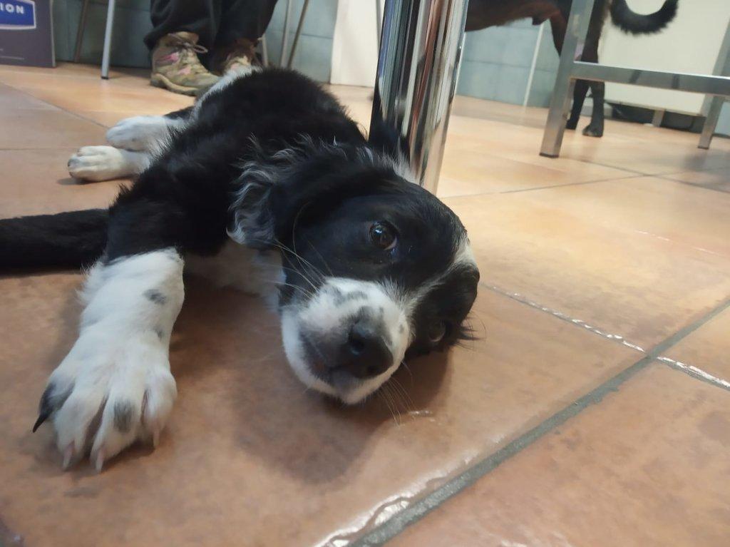 Bildertagebuch - Troya, junges obersüßes Hundemäuschen war mutterseelenallein unterwegs und auch noch angefahren - VERMITTELT - 36599806yk