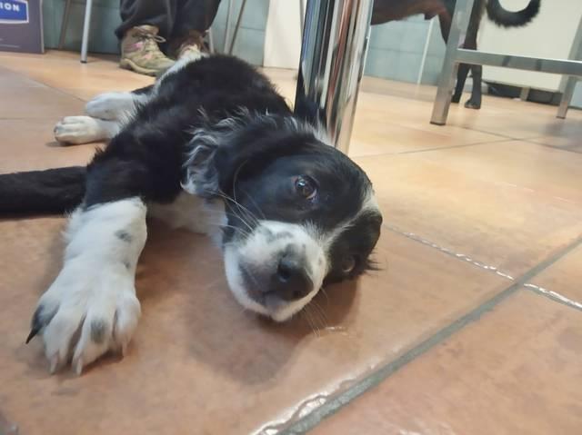 Bildertagebuch - Troya, junges obersüßes Hundemäuschen war mutterseelenallein unterwegs und auch noch angefahren - VERMITTELT - 36729032zf