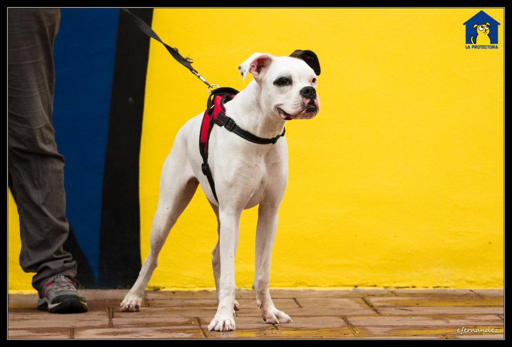Bildertagebuch - Popea, entzückende charmante Boxerschnute mit einer großen Portion Energie möchte endlich was erleben - VERMITTELT - 36855100ch