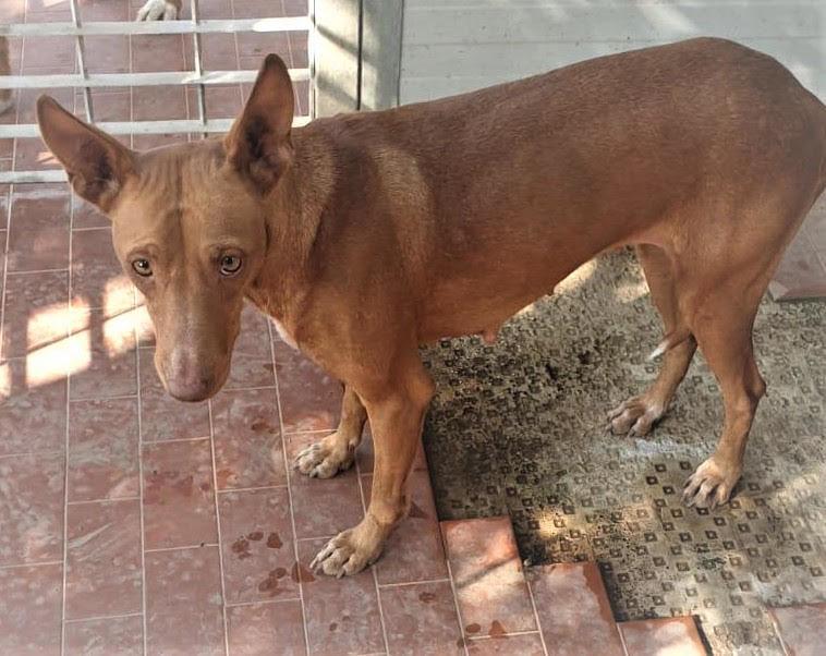 Bildertagebuch - MARIA (II) gehört einer seltenen Hunderasse an und wurde trotzdem ausgesetzt... 37855210vh