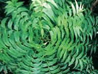 Melia Azadirachta Leaf Extract-Haarpflege beauty-exklusiv-cosmetics.de