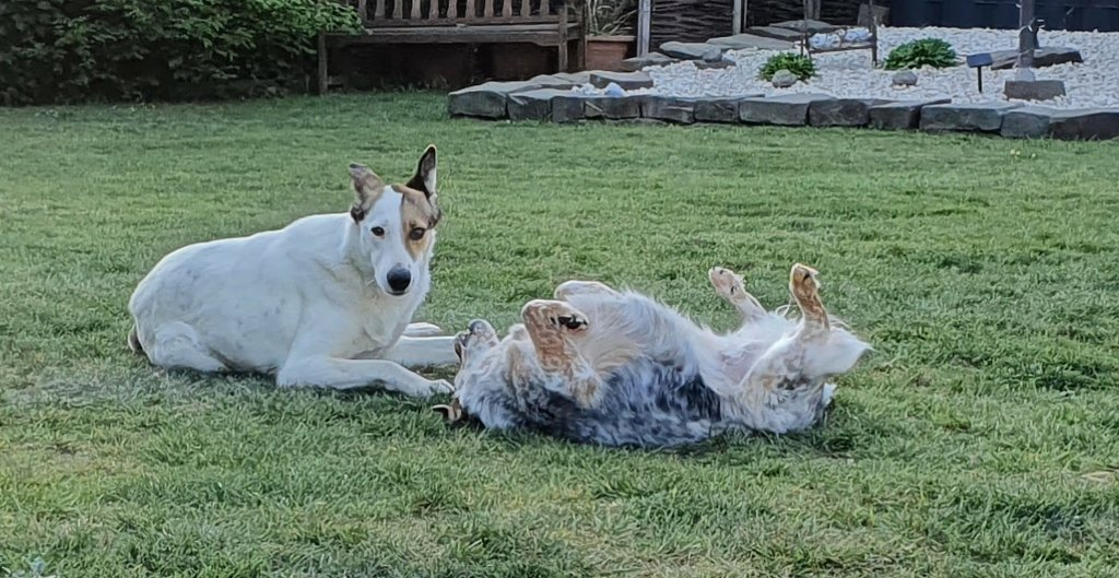 Bildertagebuch - SULAIKA und ihre Geschwister konnten vor Hundefängern gerettet werden - VERMITTELT - 38406141jm