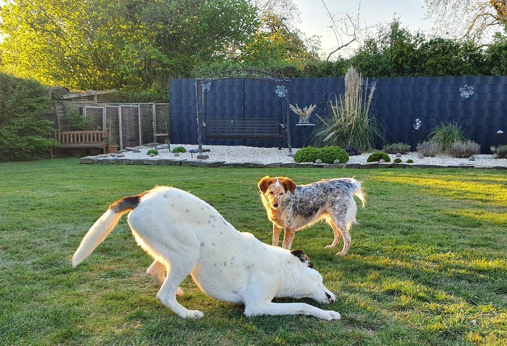 Bildertagebuch - SULAIKA und ihre Geschwister konnten vor Hundefängern gerettet werden - VERMITTELT - 38406142wq