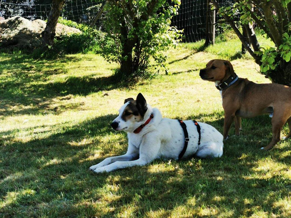 Bildertagebuch - SULAIKA und ihre Geschwister konnten vor Hundefängern gerettet werden - VERMITTELT - 38626310nt