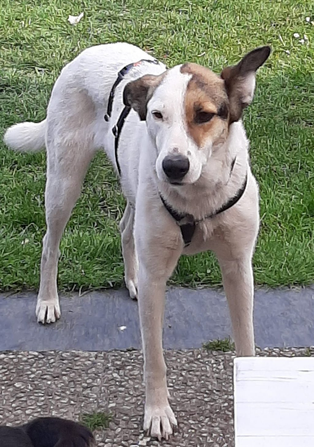 Bildertagebuch - SULAIKA und ihre Geschwister konnten vor Hundefängern gerettet werden - VERMITTELT - 38626313hc