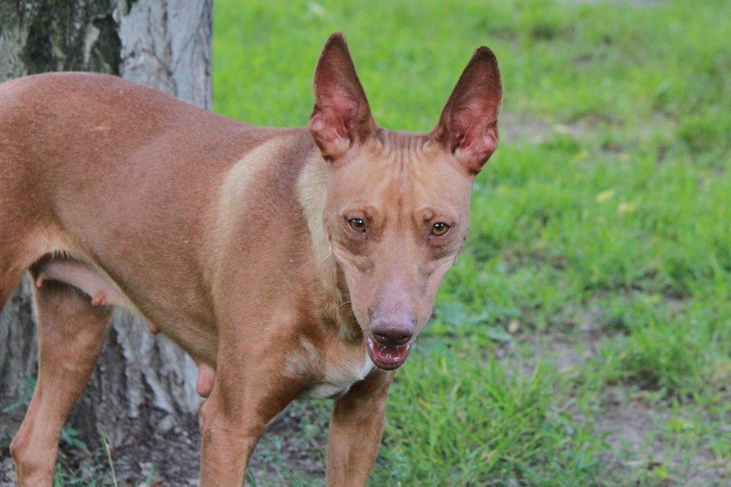 Bildertagebuch - MARIA (II) gehört einer seltenen Hunderasse an und wurde trotzdem ausgesetzt... 38677025mh