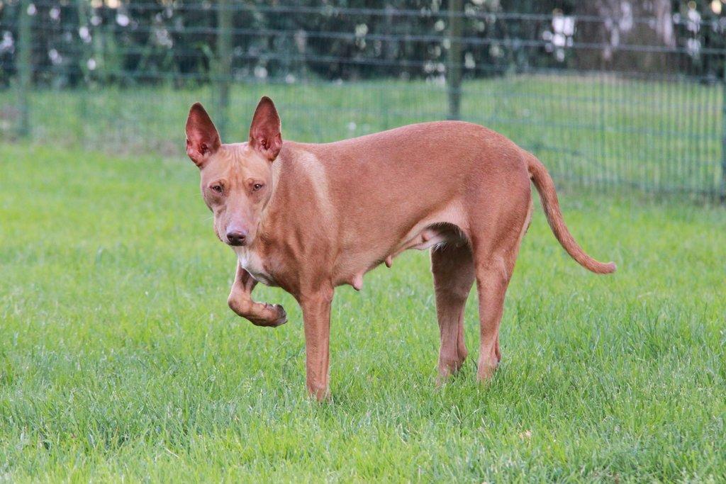 Bildertagebuch - MARIA (II) gehört einer seltenen Hunderasse an und wurde trotzdem ausgesetzt... 38677028yb