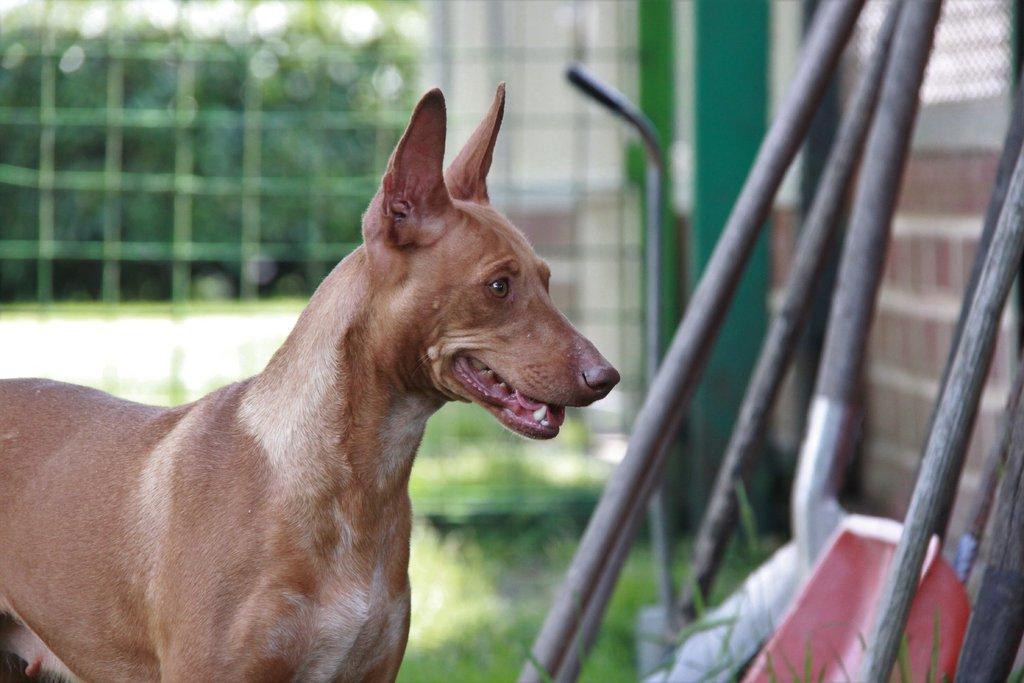 Bildertagebuch - MARIA (II) gehört einer seltenen Hunderasse an und wurde trotzdem ausgesetzt... 38677030ze
