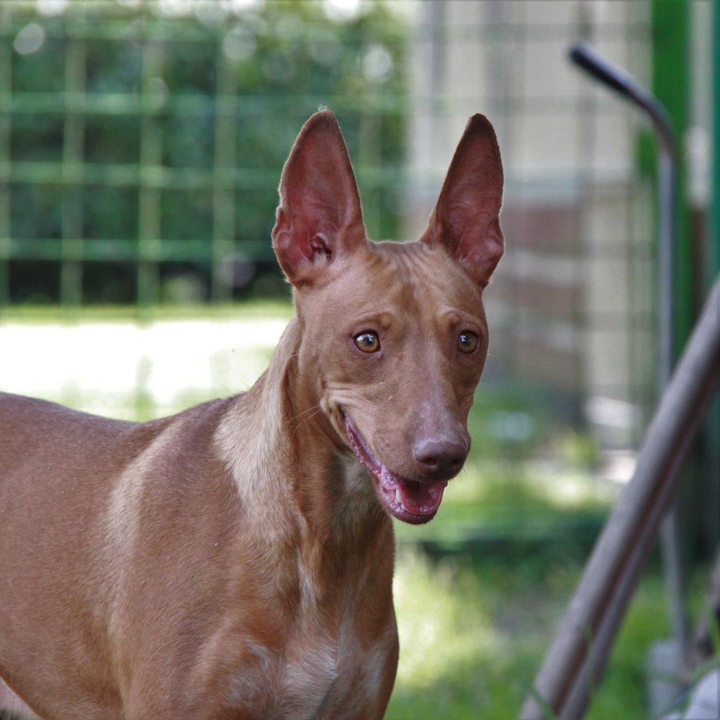 Bildertagebuch - MARIA (II) gehört einer seltenen Hunderasse an und wurde trotzdem ausgesetzt... 38677032ud