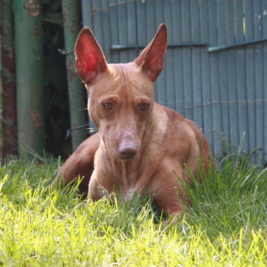 Bildertagebuch - MARIA (II) gehört einer seltenen Hunderasse an und wurde trotzdem ausgesetzt... 38677035dl