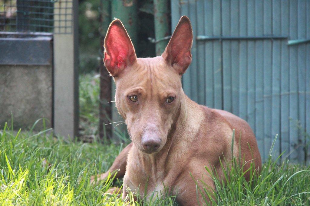 Bildertagebuch - MARIA (II) gehört einer seltenen Hunderasse an und wurde trotzdem ausgesetzt... 38677036yy