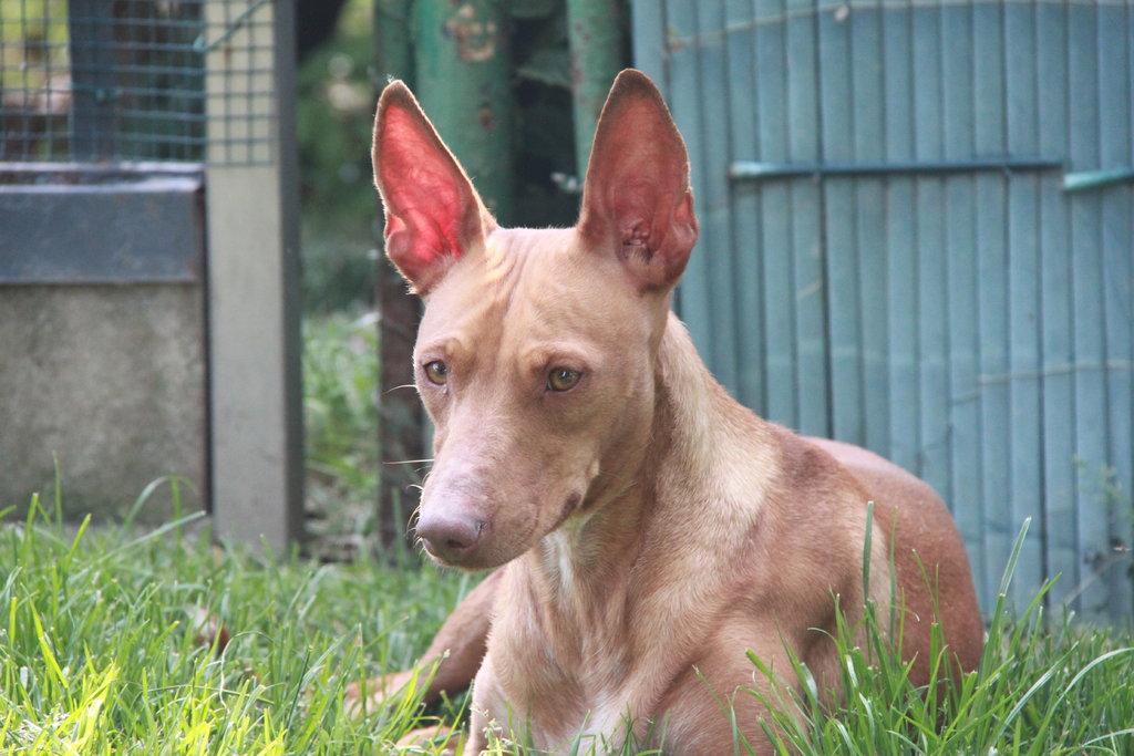 Bildertagebuch - MARIA (II) gehört einer seltenen Hunderasse an und wurde trotzdem ausgesetzt... 38677037ue