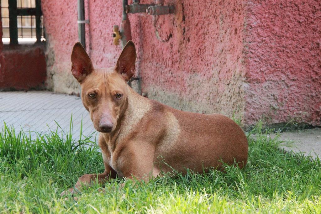 Bildertagebuch - MARIA (II) gehört einer seltenen Hunderasse an und wurde trotzdem ausgesetzt... 38677038pe
