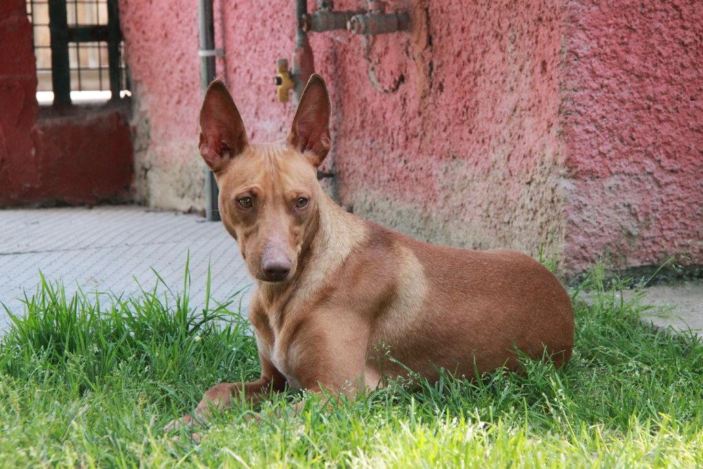 Bildertagebuch - MARIA (II) gehört einer seltenen Hunderasse an und wurde trotzdem ausgesetzt... 38677041xy