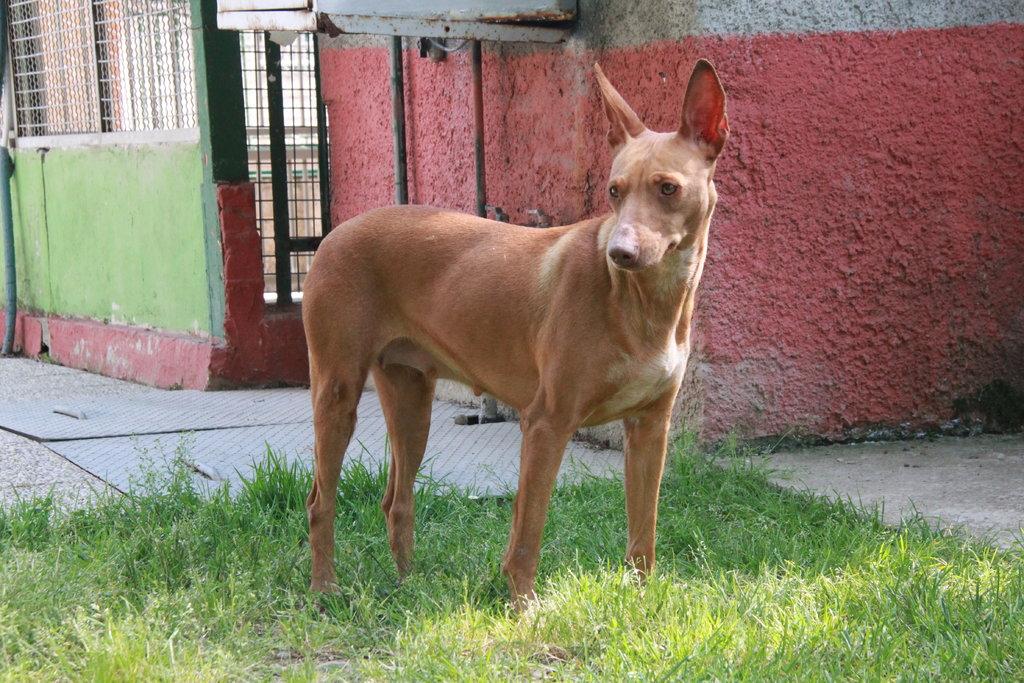 Bildertagebuch - MARIA (II) gehört einer seltenen Hunderasse an und wurde trotzdem ausgesetzt... 38677043rl