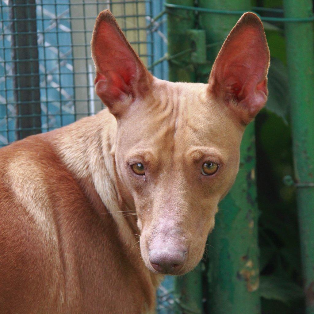 Bildertagebuch - MARIA (II) gehört einer seltenen Hunderasse an und wurde trotzdem ausgesetzt... 38677044hq