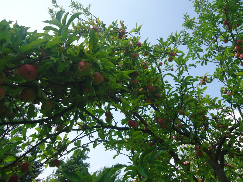 Travnjački voćnjaci  39072710qn