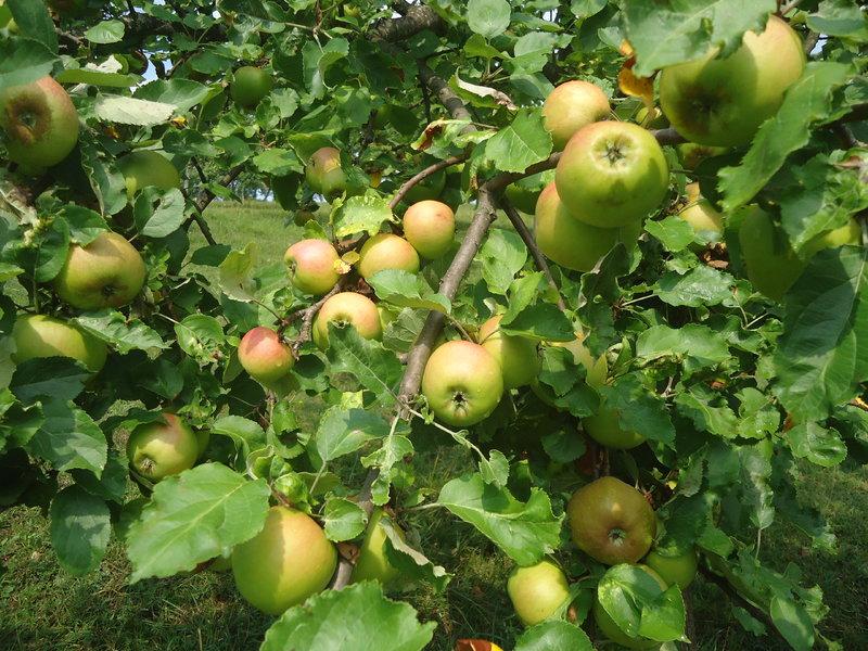 Travnjački voćnjaci  39072712cv