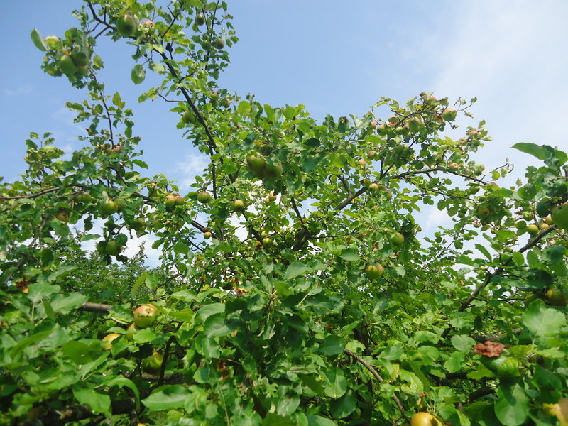 Travnjački voćnjaci  39072715vz